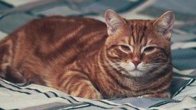 Jinger-Katzenlügen schläfrig auf Bett 4K stock video