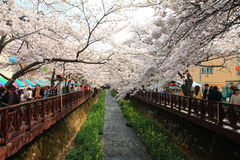 Jinhae cherry blossom Royalty Free Stock Image