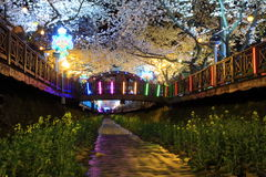 Jinhae cherry blossom Royalty Free Stock Photo