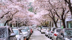 Jinhae Gunhangje Festival is the largest cherry blossom festival in Korea. Stock Images