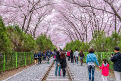 Jinhae Gunhangje Festival is the largest cherry blossom festival in Korea. Royalty Free Stock Images