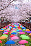 Jinhae Gunhangje Festival is the largest cherry blossom festival in Korea. Royalty Free Stock Photo