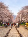 Jinhae Sakura festiwal Południowy Korea Fotografia Royalty Free