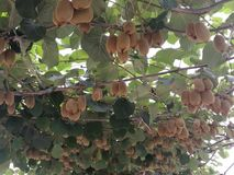 Jinyan-Kiwifruit Stockfotos