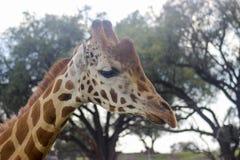 JIRAFA动物天空长颈鹿 免版税库存照片