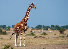 Jirafa #2 del Kenyan Imágenes de archivo libres de regalías