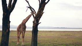 Jirafa adulta africana en Savannah Of Acacia Trees Eat sus hojas y corteza almacen de video