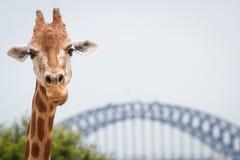 Jirafa adulta en el parque zoológico de Taronga, Sydney Foto de archivo