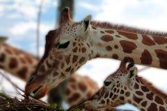 Jirafa adulta y pequeña jirafa Imágenes de archivo libres de regalías