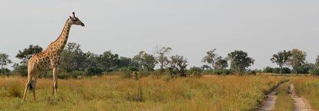 Jirafa africana Imágenes de archivo libres de regalías