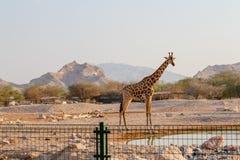 Jirafa africana en el fondo del desierto imagen de archivo libre de regalías