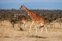 Jirafa africana en sabana Estos animales agraciados y bonitos son herbívoros Fotos de archivo libres de regalías