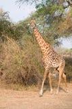 Jirafa africana hermosa Fotos de archivo libres de regalías