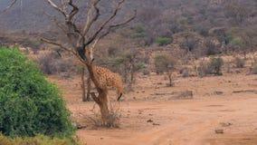 Jirafa africana joven que camina en la tierra roja del camino en la reserva Samburu almacen de metraje de vídeo