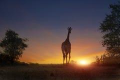 Jirafa africana que camina en puesta del sol Fotografía de archivo