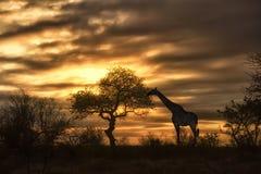 Jirafa africana que come en puesta del sol Fotos de archivo libres de regalías