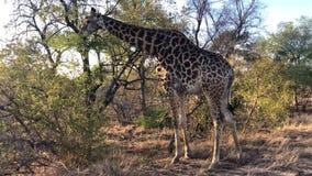 Jirafa africana que pasta de un árbol almacen de metraje de vídeo