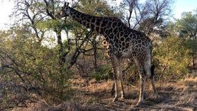 Jirafa africana que pasta de un árbol almacen de video