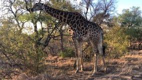 Jirafa africana que pasta de un árbol metrajes