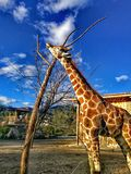 Giraffe life in zoo royalty free stock images
