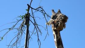 Jirafa alta que come las hojas metrajes