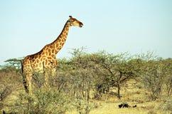 Jirafa angolana, parque nacional de Etosha, Namibia Imagen de archivo