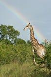 Jirafa bajo un arco iris africano Foto de archivo