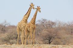 Jirafa Bull - fondo de la fauna de África - Brother Pose Fotografía de archivo libre de regalías