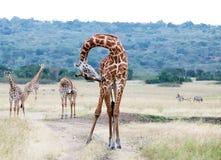 Jirafa (camelopardalis del Giraffa) Fotografía de archivo libre de regalías