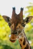 Jirafa (camelopardalis del Giraffa) Imagen de archivo libre de regalías