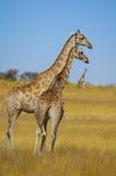 Jirafa (camelopardalis del Giraffa) Foto de archivo libre de regalías