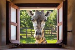 Jirafa cercana para arriba en la ventana Fotos de archivo libres de regalías