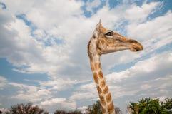 Jirafa curiosa Foto de archivo libre de regalías