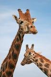 Jirafa de Baringo - animal africano Imágenes de archivo libres de regalías