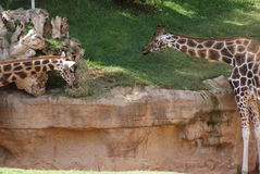 Jirafa de Baringo - rothschildii de los camelopardalis del Giraffa Imagen de archivo