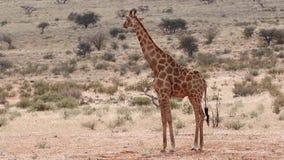 Jirafa de Bull que se coloca en el prado en el Kalahari almacen de metraje de vídeo