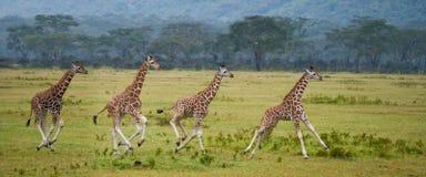 Jirafa de cuatro bebés que corre a través de la sabana Primer kenia tanzania La África del Este foto de archivo libre de regalías