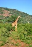 Jirafa de Kenia Foto de archivo libre de regalías