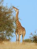 Jirafa de la fauna de África Foto de archivo