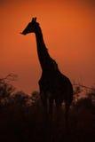 Jirafa de la puesta del sol y x28; IMG 3616& x29; Foto de archivo libre de regalías
