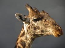 Jirafa de Maasai Fotografía de archivo libre de regalías