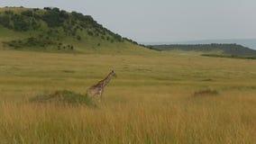 Jirafa de Maasai almacen de metraje de vídeo