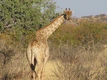 Jirafa de Namibia dada vuelta a la mirada Fotografía de archivo libre de regalías
