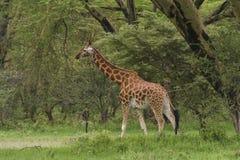 Jirafa de Rothchilds en Kenia Foto de archivo libre de regalías