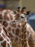 Jirafa del bebé Imagen de archivo libre de regalías