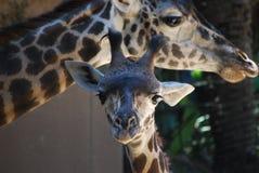 Jirafa del bebé con la mamá en el parque zoológico del LA imagen de archivo libre de regalías
