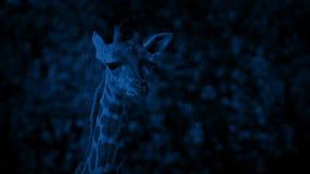 Jirafa del bebé en la noche almacen de metraje de vídeo