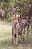 Jirafa del bebé que se coloca detrás de otra jirafa joven Foto de archivo libre de regalías