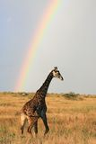 Jirafa del Masai bajo el arco iris Fotos de archivo