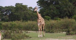 Jirafa del Masai, tippelskirchi de los camelopardalis del giraffa, adulto que se coloca en sabana, Masai Mara Park en Kenia, almacen de metraje de vídeo